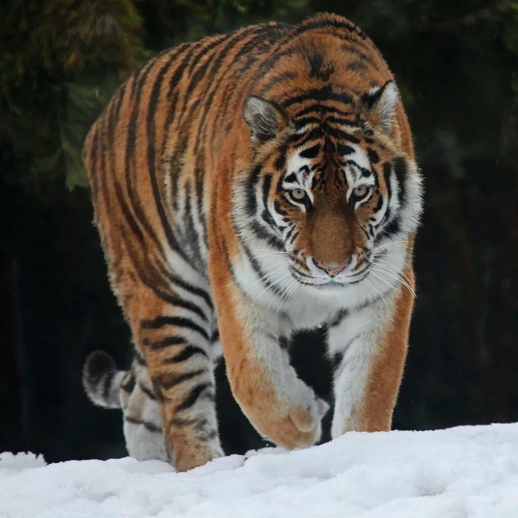 картинки про амурские тигры небольшая
