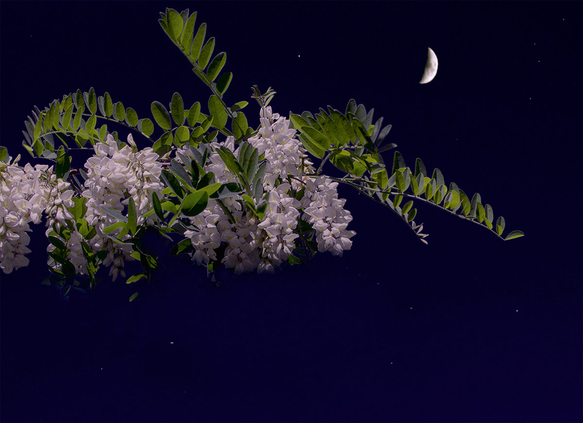 Белой акации гроздья картинки