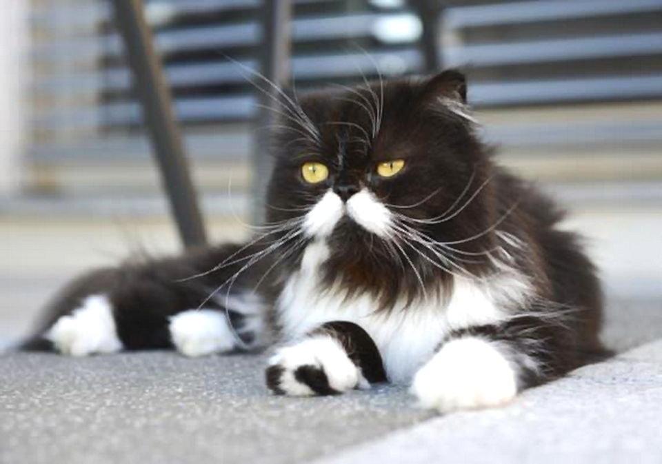кот перс картинки черно-белые