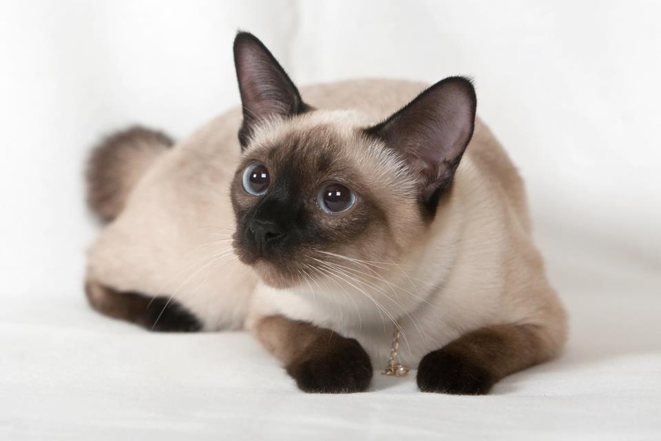Открытка для, кошки сиамские картинки