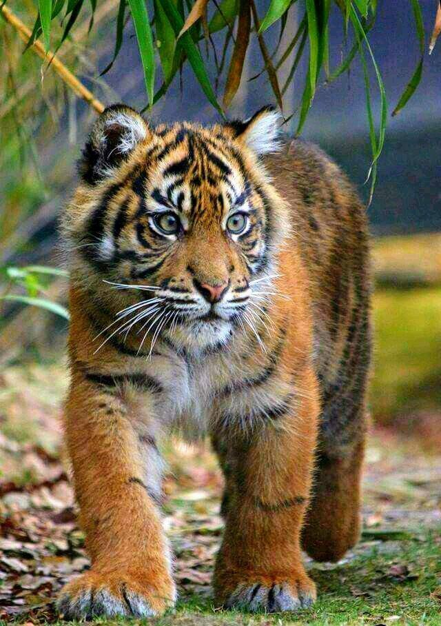 Тигрёнок#Кот #Пушистое_мимими #большие_кошки #baby_animals #cute_animals #милые_животные #бенгальский_тигр