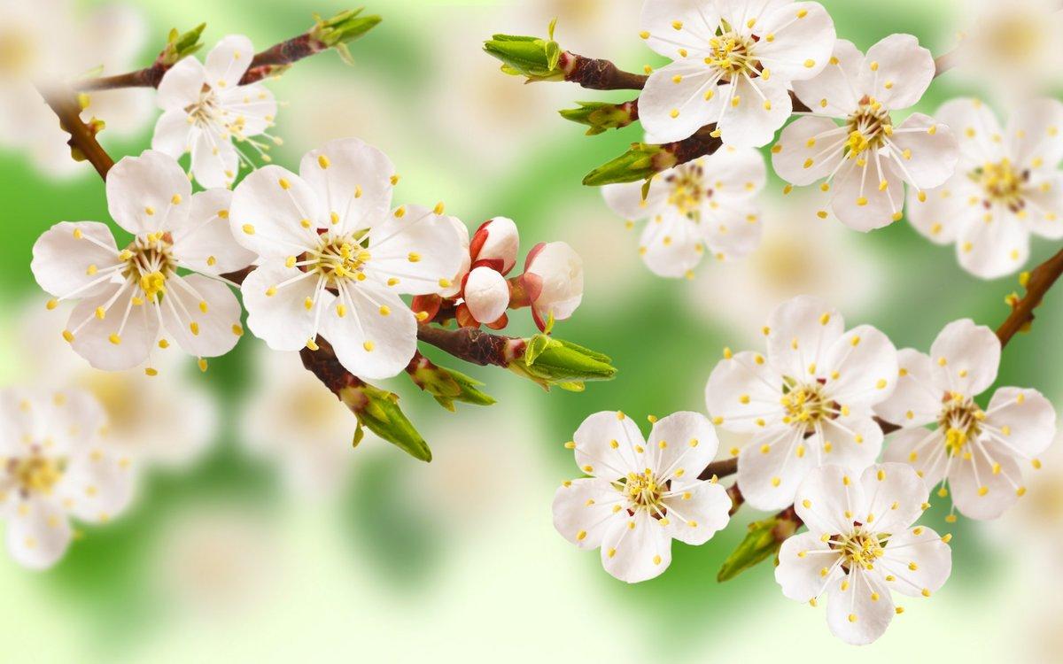 Юбилеем, картинка с яблоневым цветом