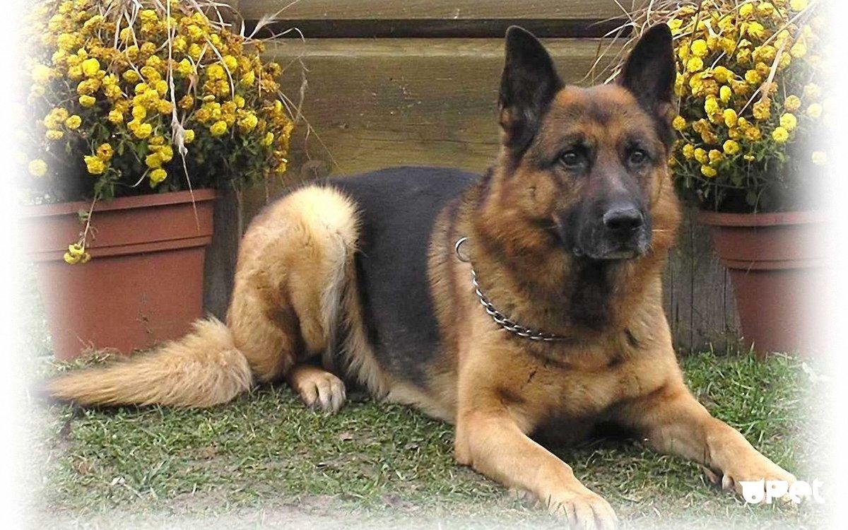 Собака овчарка немецкая картинки