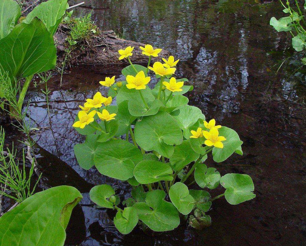 Водные растения средней полосы россии фото