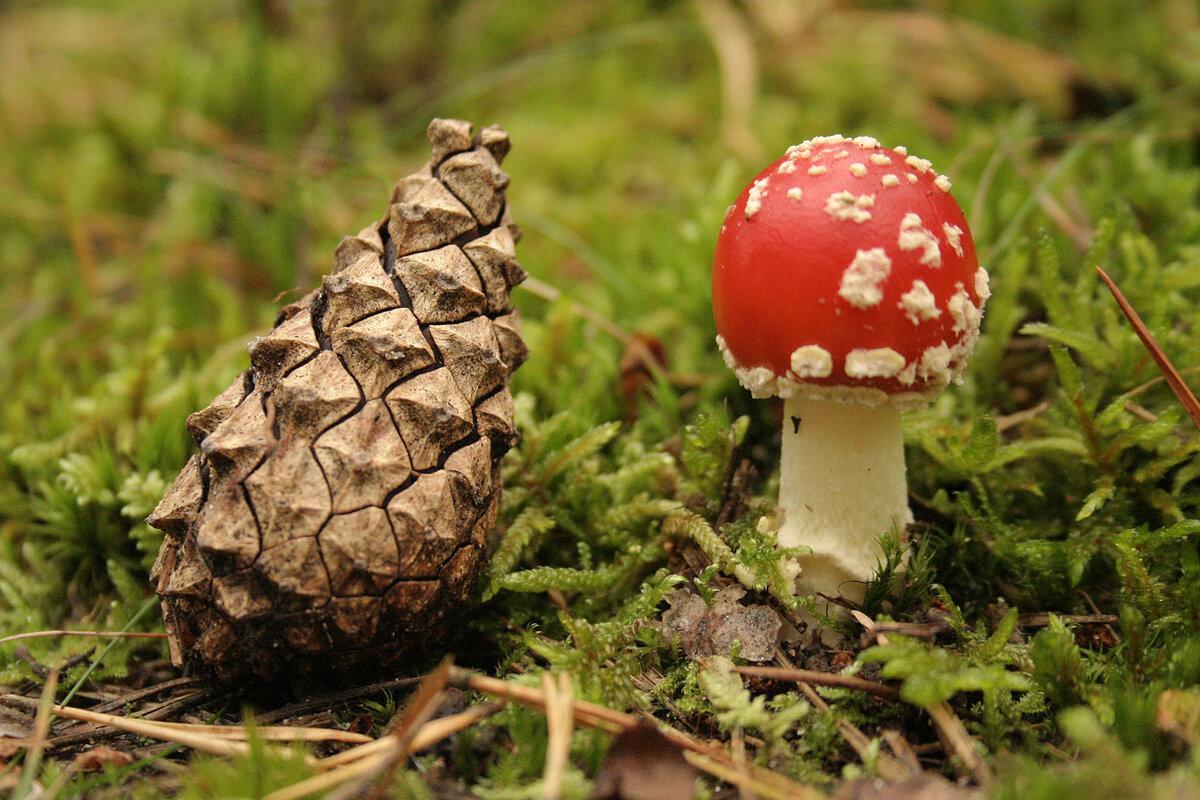 Картинка шишки и грибы для детей