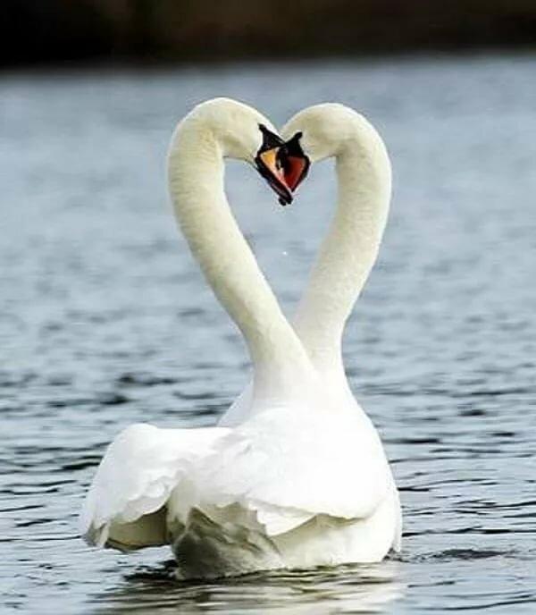 лебеди обнимаются в виде сердца фото год это праздник