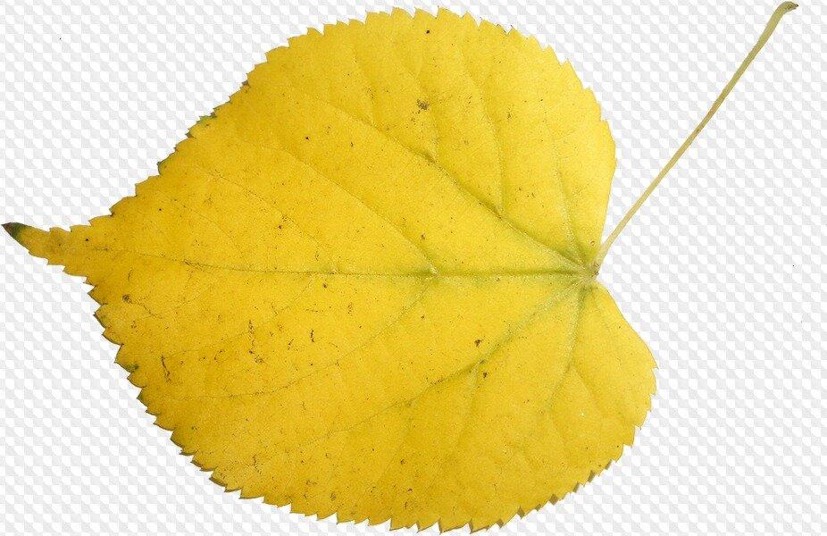 Листья березы рисунок осенью