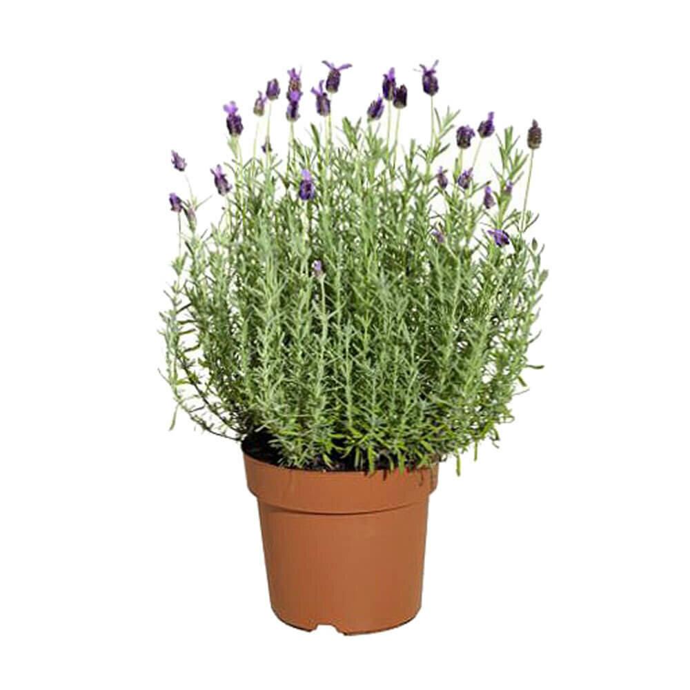 Фрезии, цветки лаванды купить минск