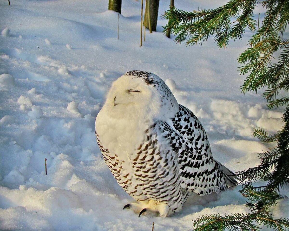 прошла, отставке картинки белая сова зимой бруса