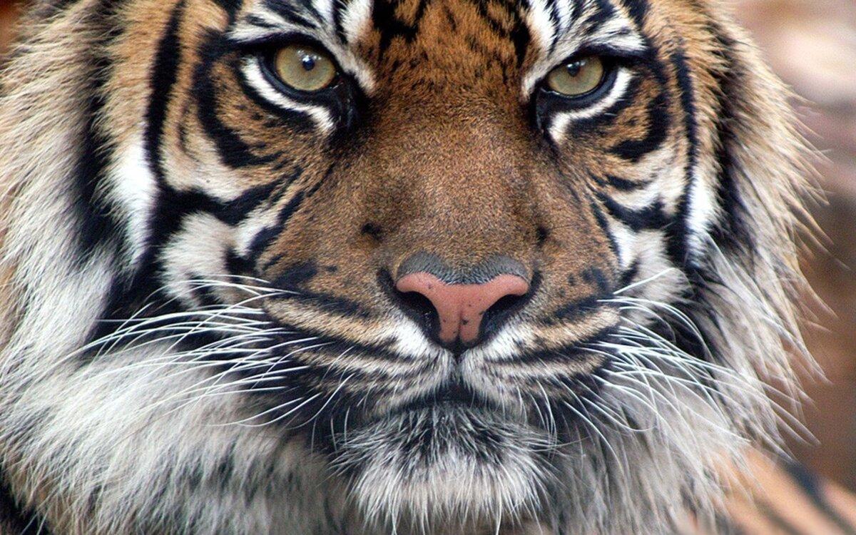Картинки панки, прикольные рисунки тигров