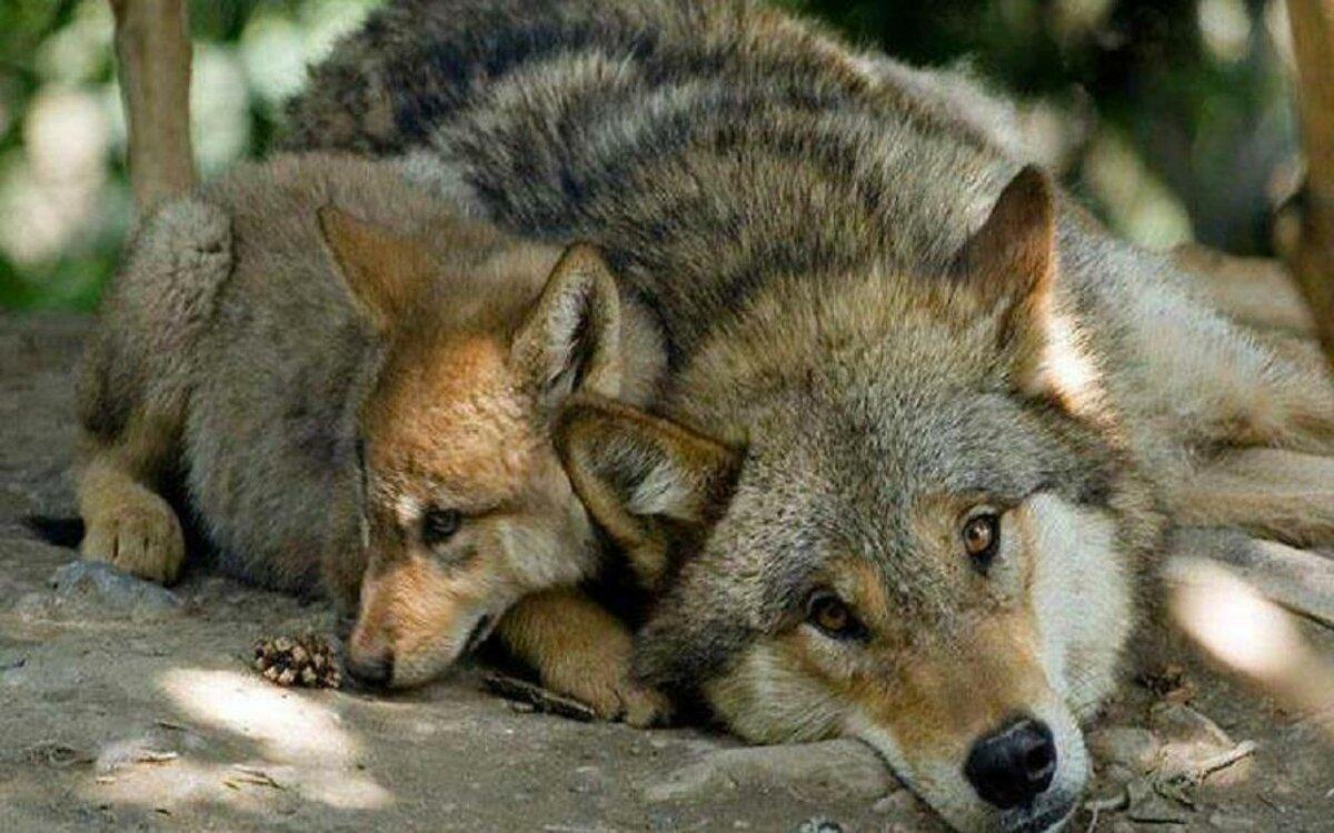 Злые волки картинки на телефон адреса