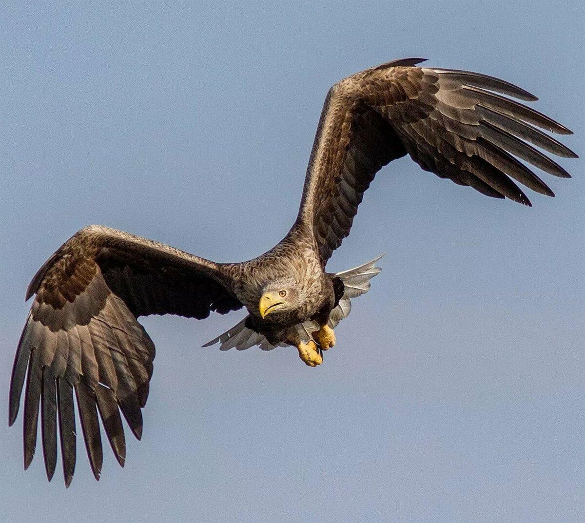 Фотографии орлана белохвоста