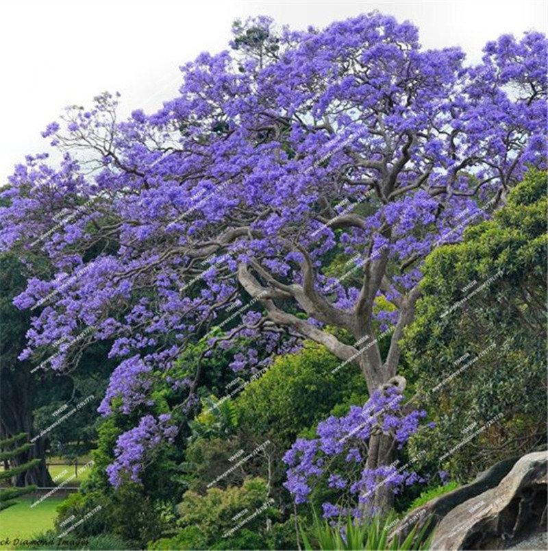палисандровое дерево фото статье содержится описание