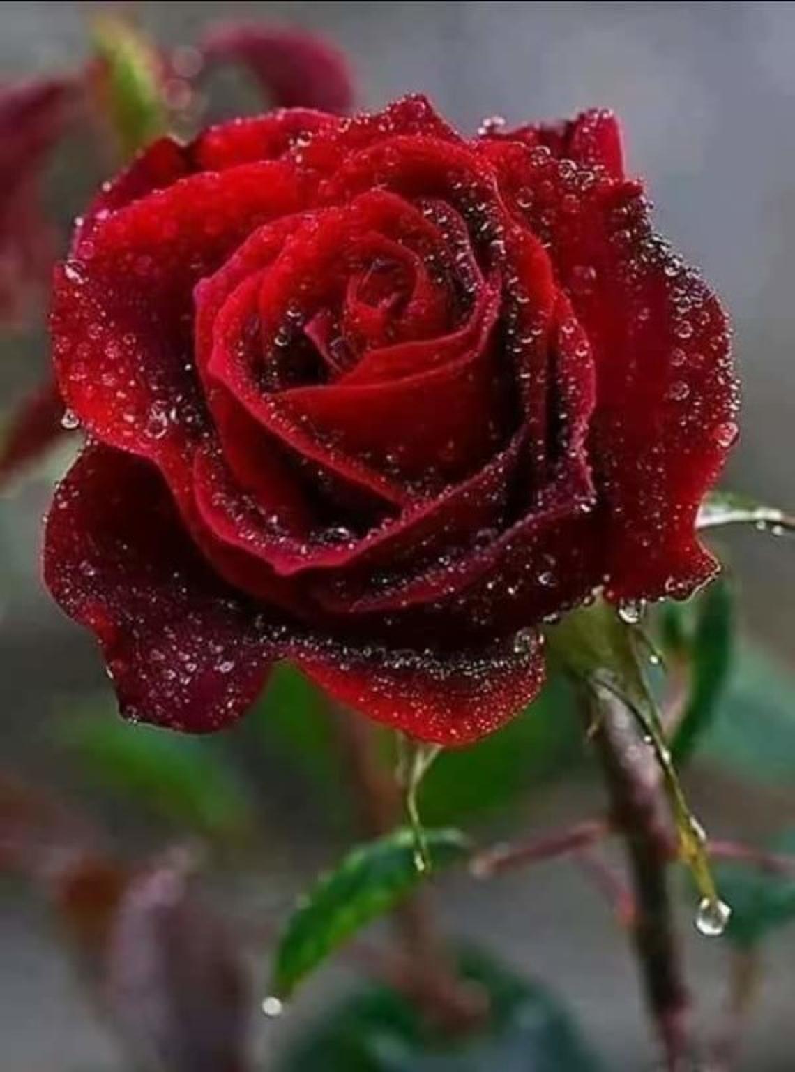 розы для статуса картинки утешить мать, джеймс