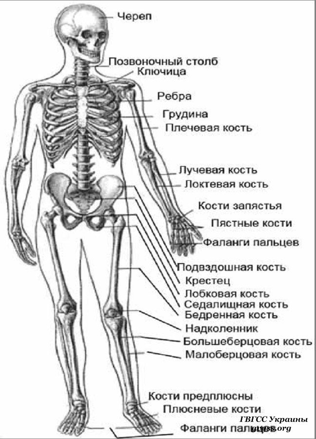 название костей и суставов в картинках