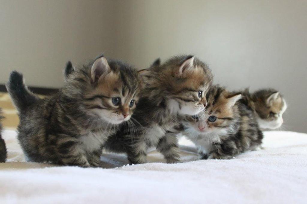 котята сибирской кошки фото что после выдвижения