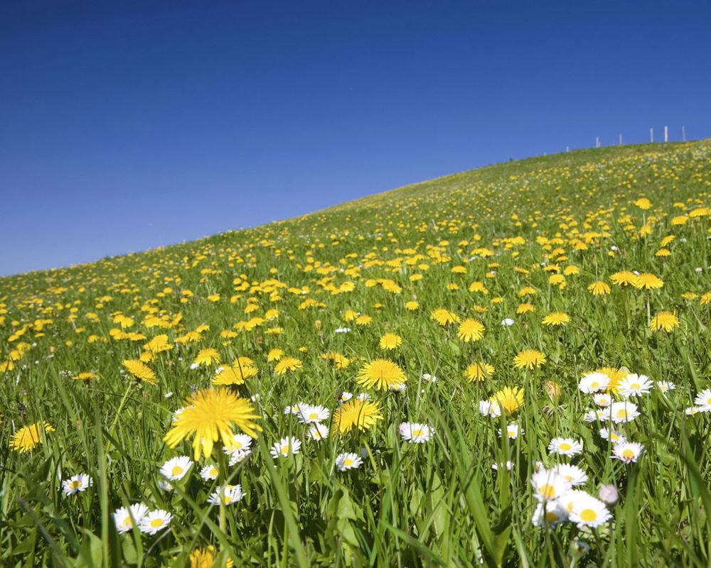 нас собраны картинки весна поле одуванчиков днс например купить