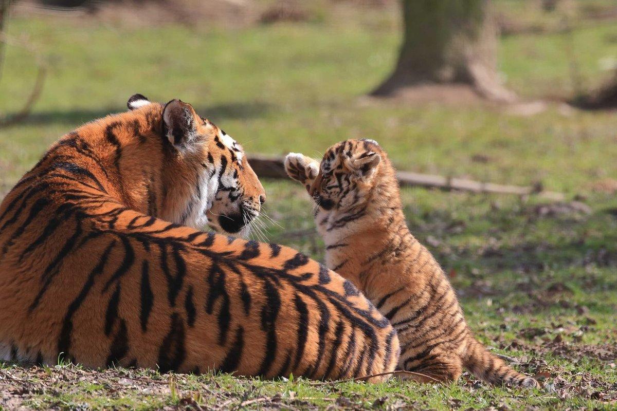 Картинки тигренка и его мамы