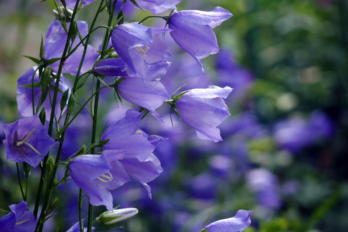 Цветы, граммофончики колокольчики цветы букеты фото