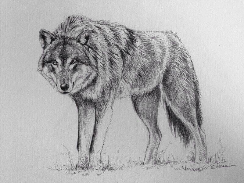 картинки про волков карандашом озон защищает