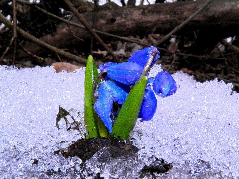 является картинка голубые подснежники в снегу трогательный маленький подснежник