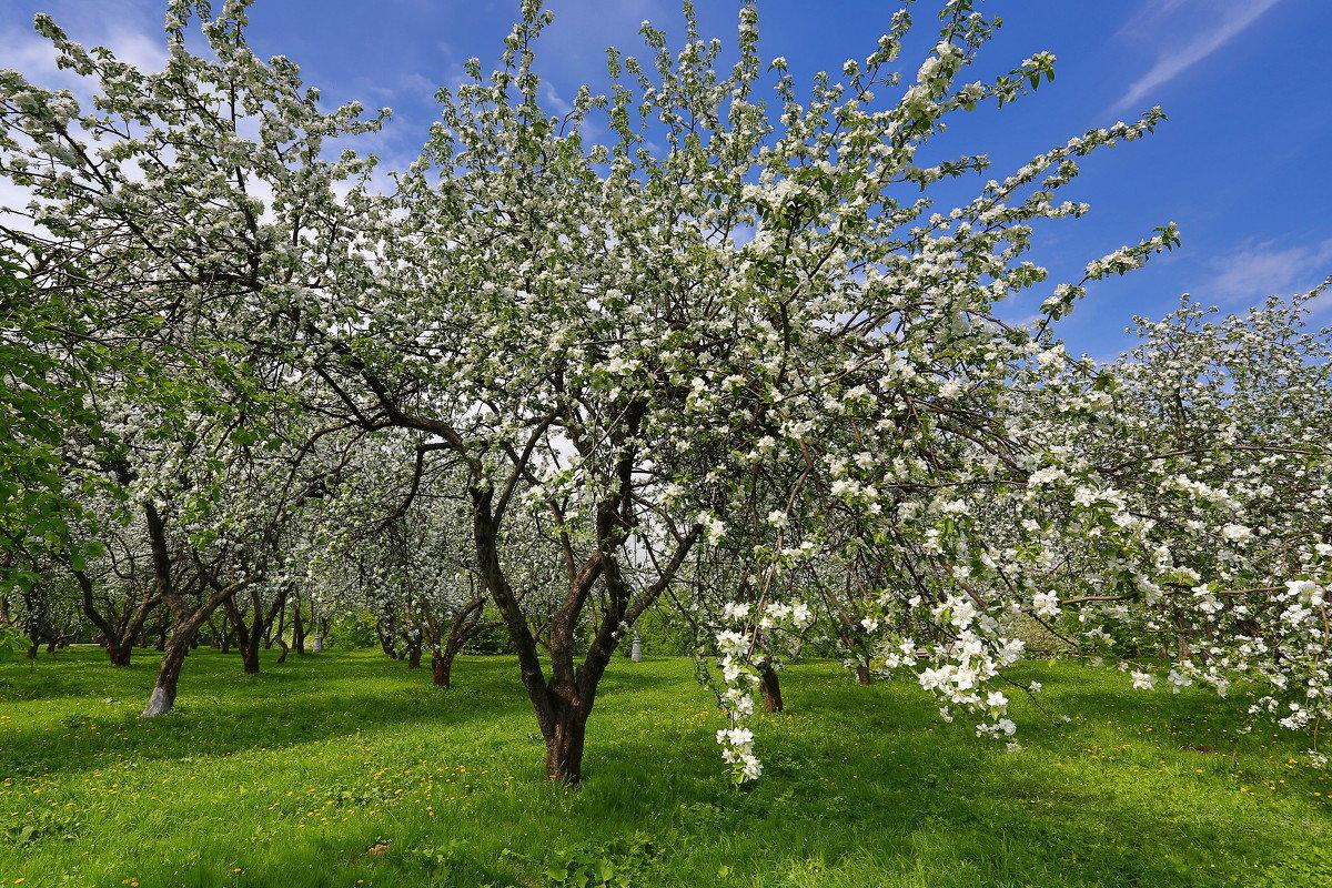 трафаретов картинки яблоневого сада цветущего сделанные перед