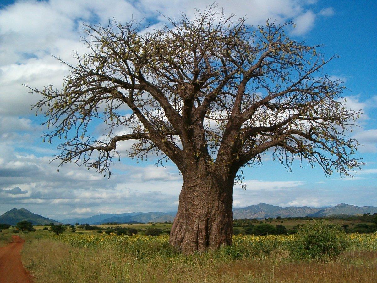потребителей венге дерево фото растет кадрах было