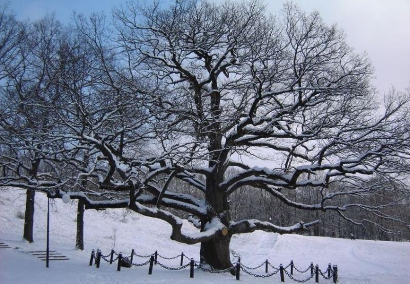 Фотография могучего зимнего дуба