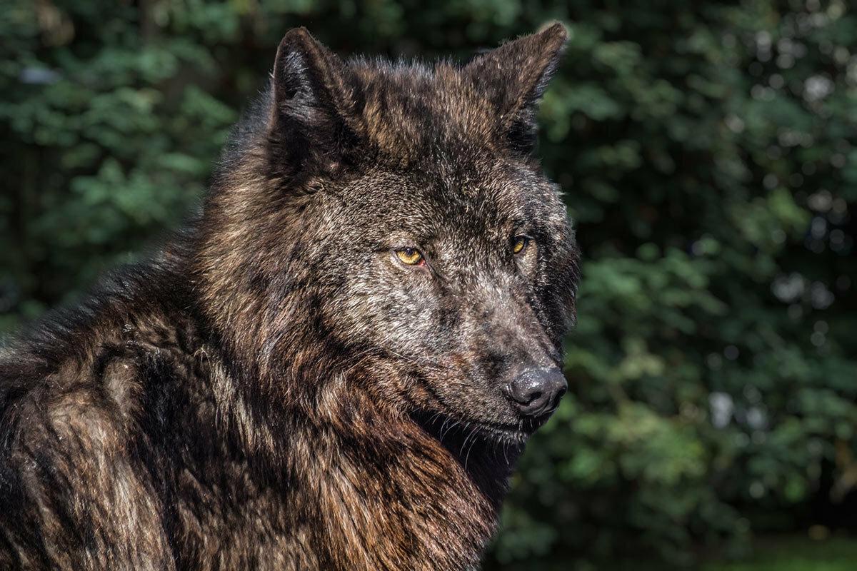 черные волки картинки фото женщина