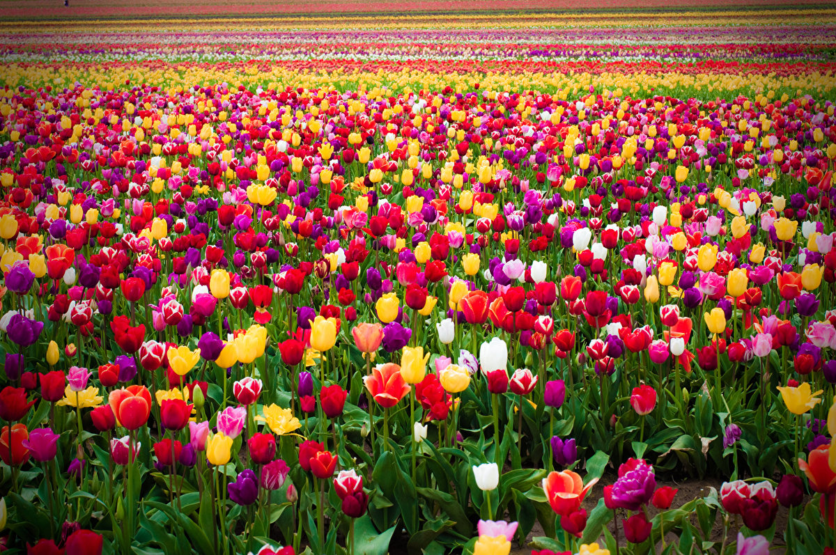 К чему снится тюльпан: толкование сна по 90 сонникам.