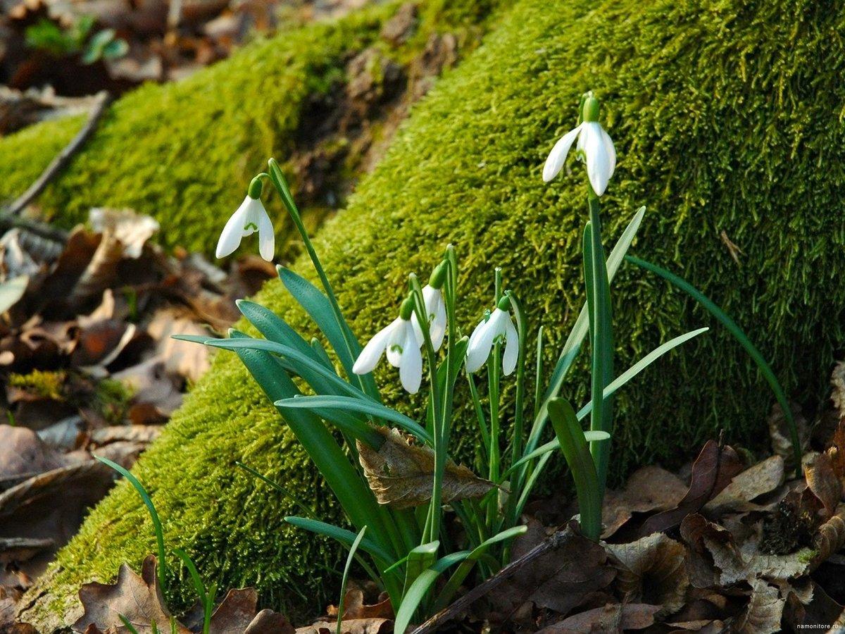 Фотографии весна в лесу подснежники