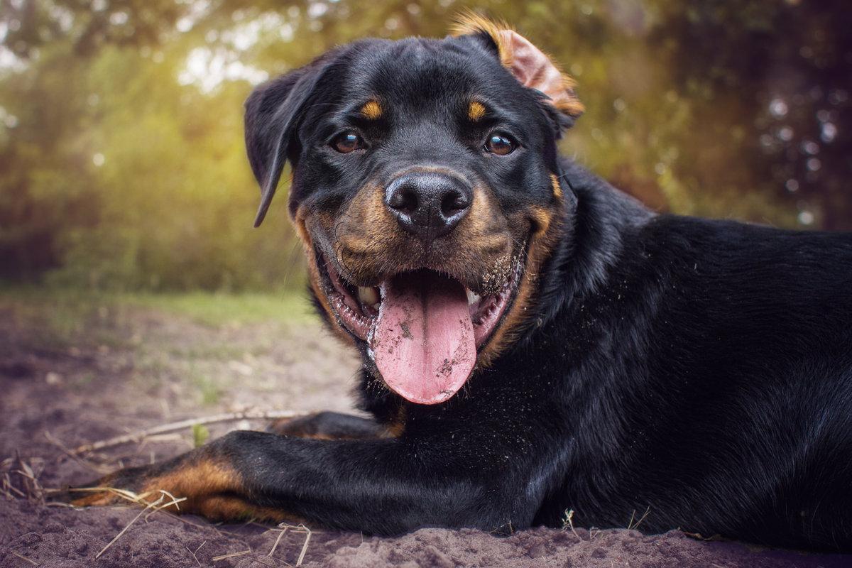 собаки порода ротвейлер картинки