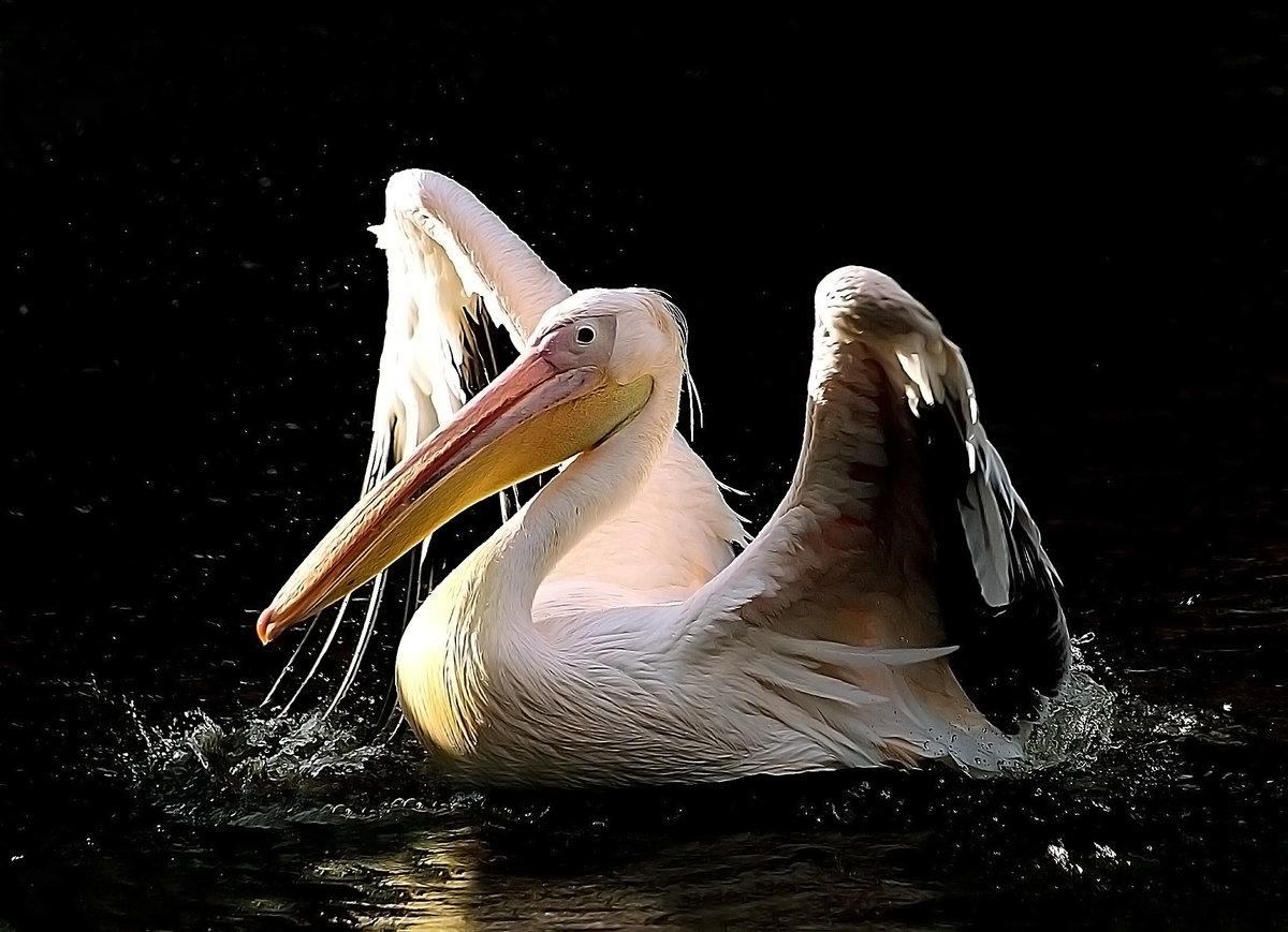 Картинки с пеликаном для любви, для