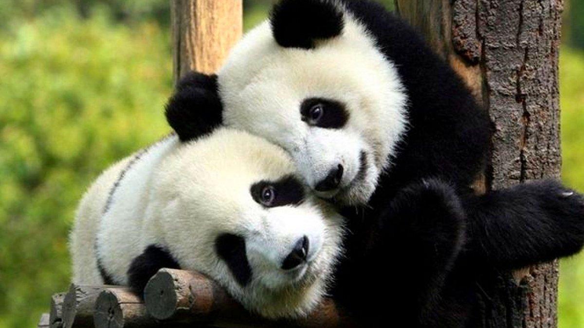 Смешные картинки, смешные картинки с животными пандами