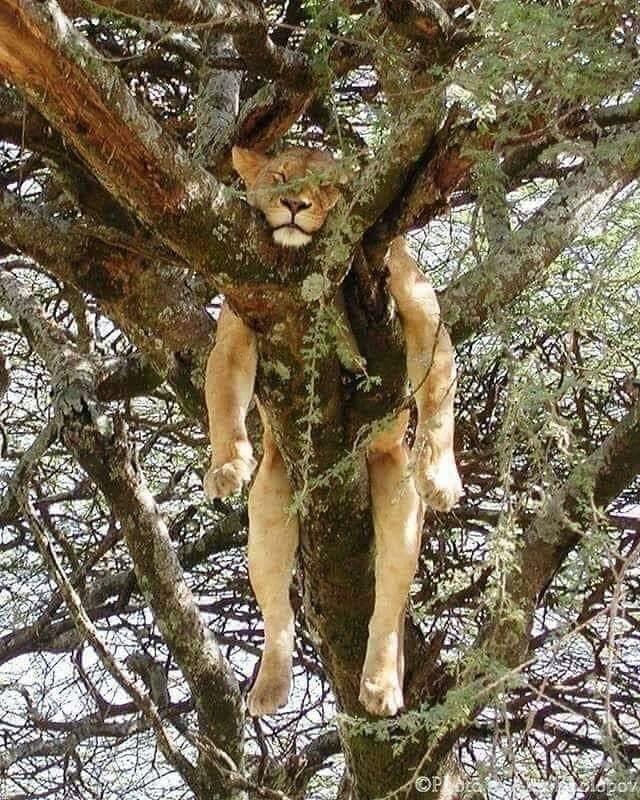 Утренний расслабон#Красивые_Кошки #Милые_Животные #Детеныши_ЖивоÑ'Ð½Ñ‹Ñ #Смешные_Животные #Большие_Кошки #на_дереве #фотооÑота #дикие_животные #львица #lion