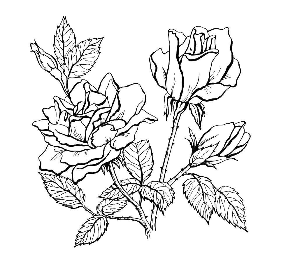 Раскраски цветы красивые крупные распечатать розы
