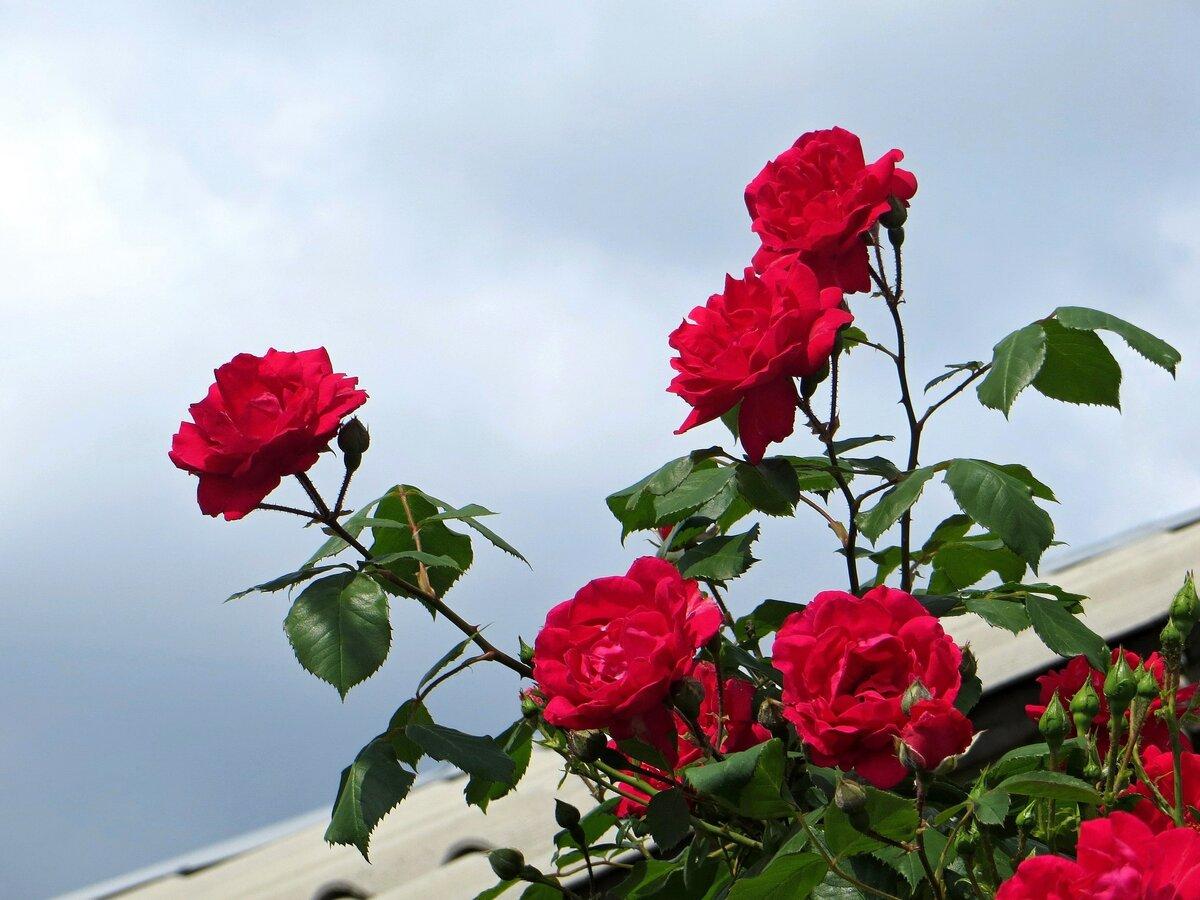 Картинка растущие розы