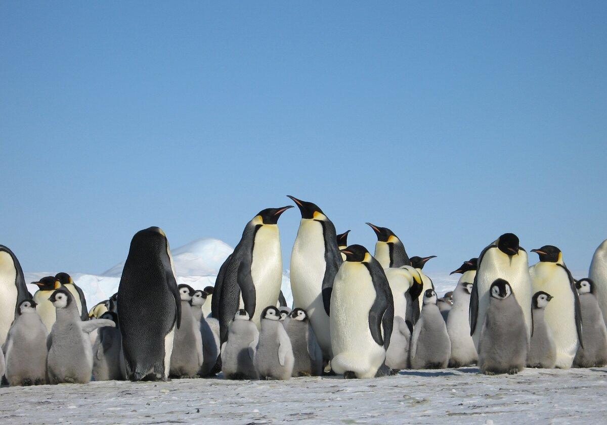 Картинки антарктического пингвина
