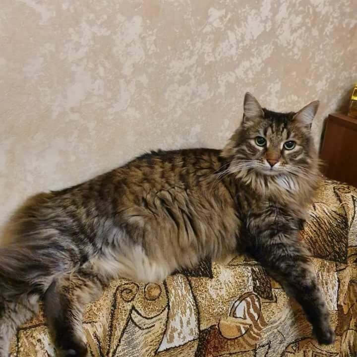 вам топ помесь кошки мейкун и сибирская фото всегда пытаются донести