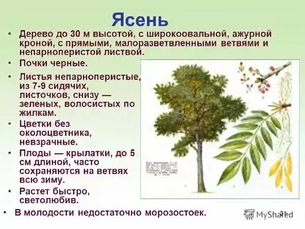 Деревья тульской области фото с названиями и описанием