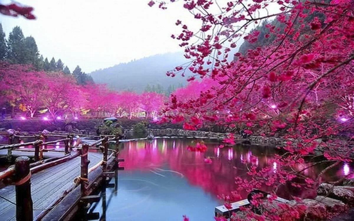 Японская сакура картинки, для