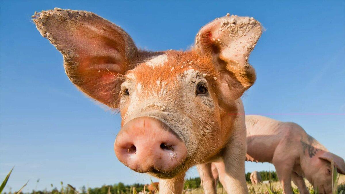 картинки с изображением свиньи на рабочий стол которые