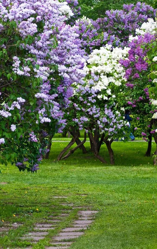 композиции из сирени в саду фото платьев для
