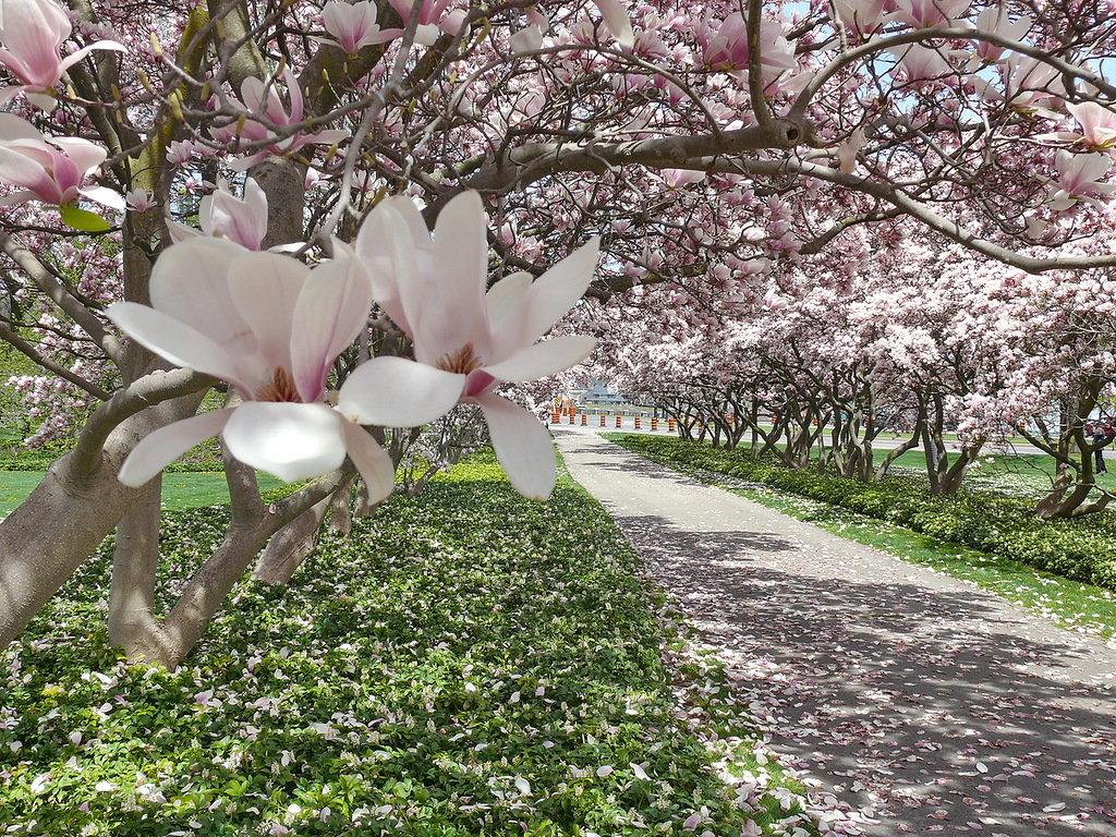 предупреждениями цветущие деревья в сочи фото рецепты приготовления