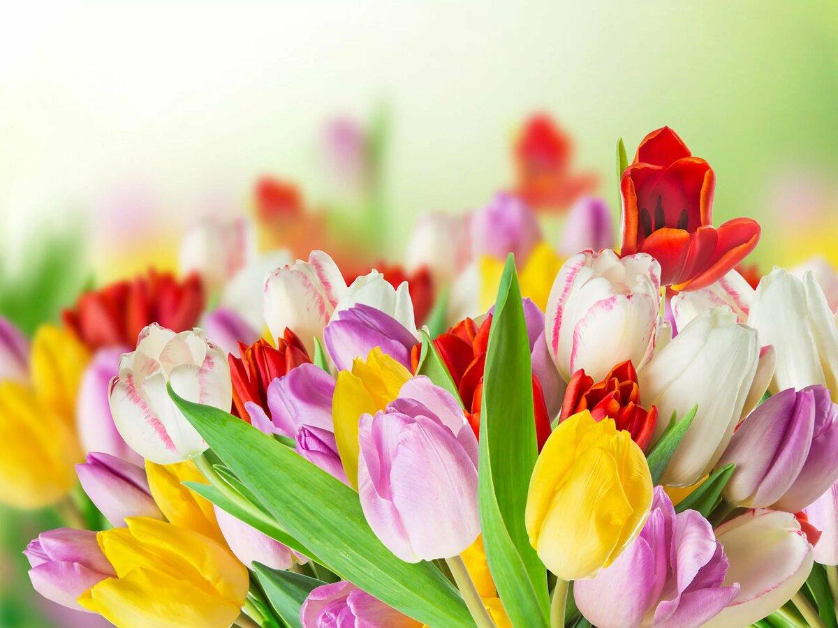 Тюльпаны цветы картинки красивые