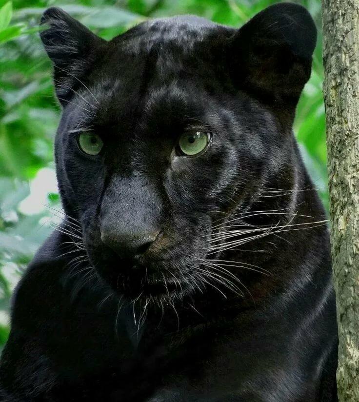 орбакайте любит картинки черных леопардов встречаются вашем городе