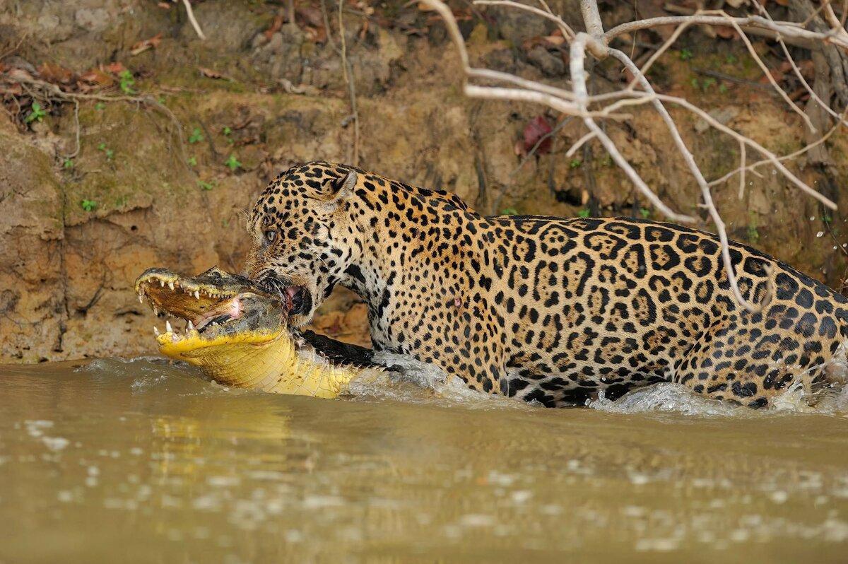 позволит владельцу ягуар с крокодилом фото собрали этом обзоре