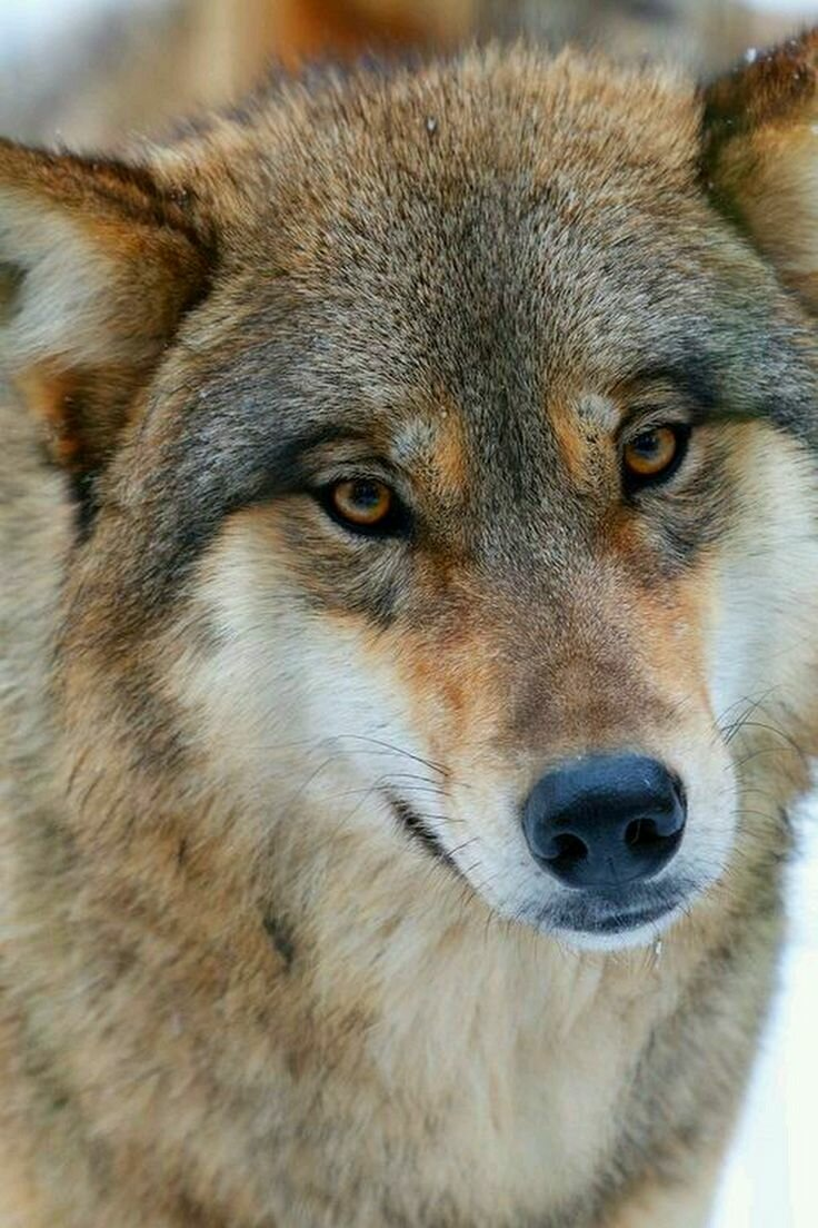 Фото тату волк на икре любите выпечку
