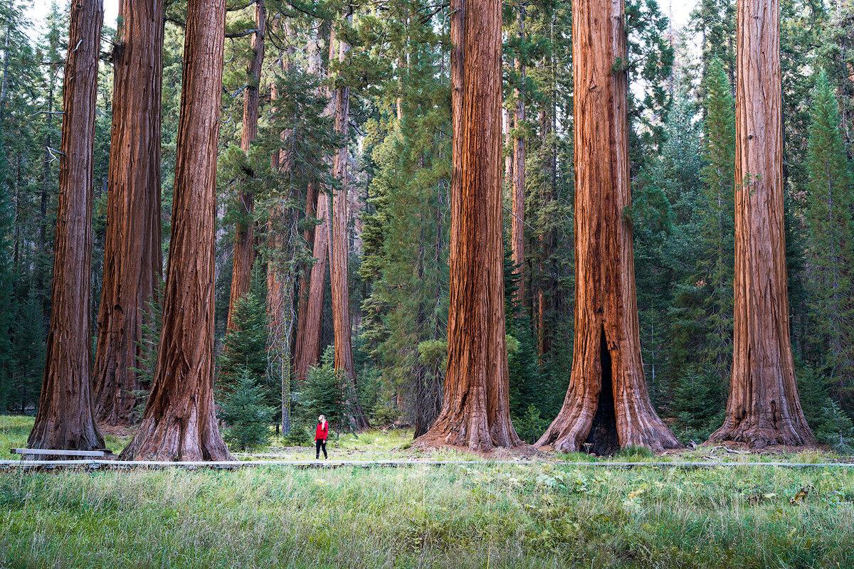 вам гигантские деревья фото смелая решительная