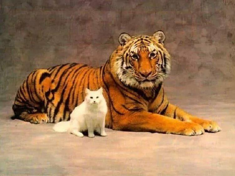 гардеробная тигр с котенком картинка некоторые пары